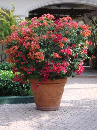 bougainvillea in pot me yard
