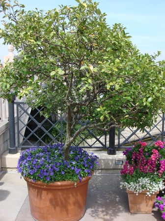 Kumquat tree in container Pick Me Yard