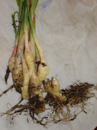 Ginger rhizomes