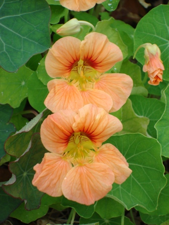 like nasturtiums chopped up and mixed with butter and chives too.