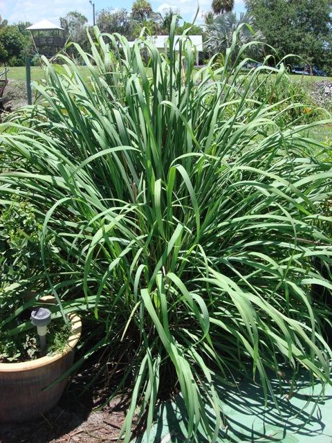 Lemongrass florida