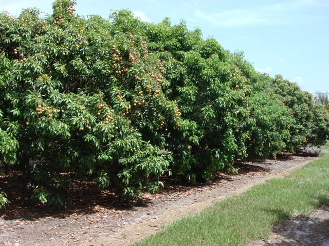 picture of lychee tree  pick me yard, Beautiful flower