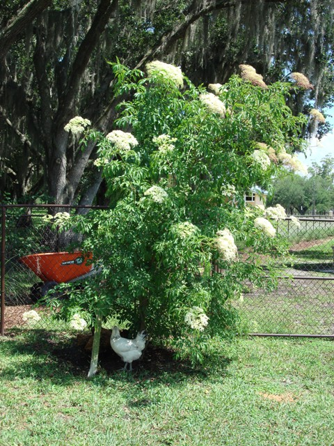 Growing Elderberry In Florida Pick Me Yard
