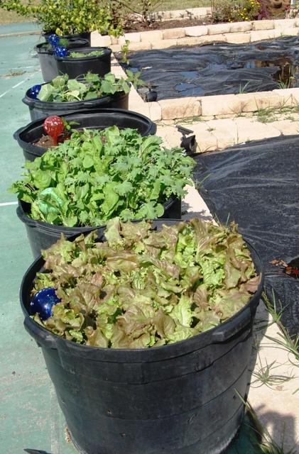 growing lettuce in pots pick me yard. Black Bedroom Furniture Sets. Home Design Ideas