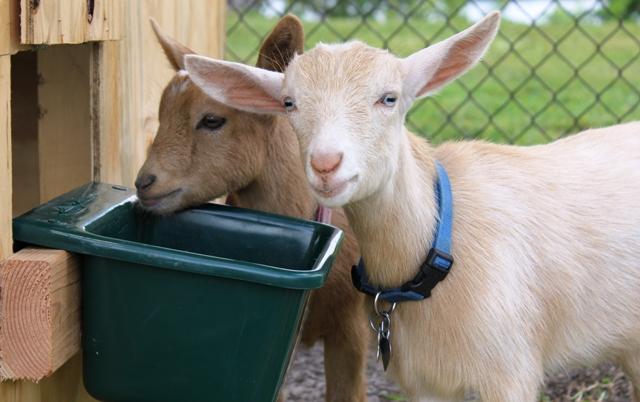 shelter for nigerian dwarf goats | Pick Me Yard