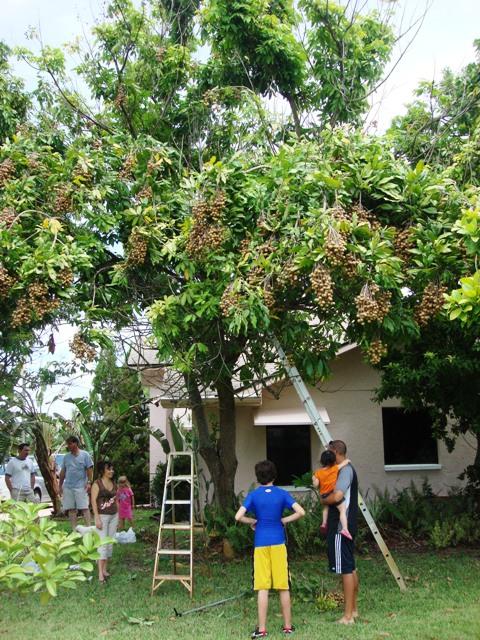 longan tree in southwest florida | Pick Me Yard