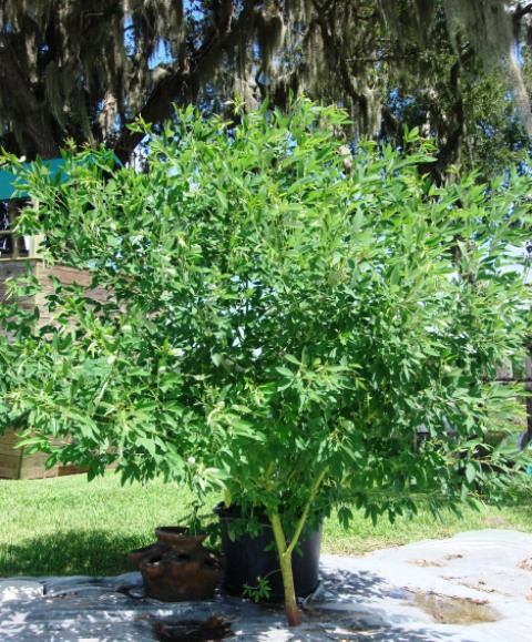 Growing Garden Peas: Growing Pigeon Peas In Southwest Florida