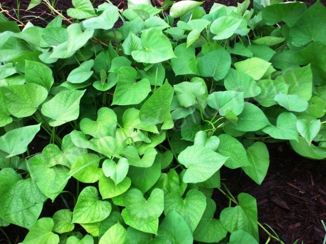 Edible and yummy sweet potato leaves. These are heart-shaped.