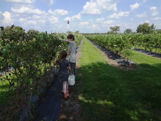 Growing blueberries in Southwest Florida   Pick Me Yard